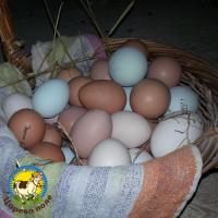 куринные яйца домашние
