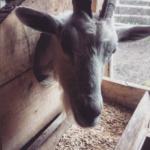 кормление козы