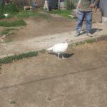 Ферма по выращиванию цыплят корнишонов